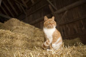 eartipped barn cat
