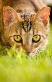 feral-cat1